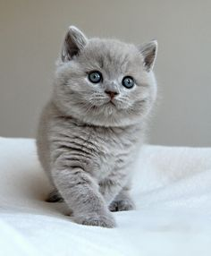 """12 Reasons Why You Should Never Own British Shorthairs...this picture says on the website """"when they are first born they are terrifying."""" Now that is just mean! This little guy does not look terrifying, right?"""