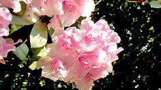 L'art de multiplier le rhododendron par marcottage: matériel nécessaire, étapres à suivre, rien de plus simple grâce à cette vidéo.