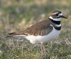 Killdeer.  Every once in a while I see one of these funny little birds running in the street in front of my house.  I had never seen one before except at the beach.