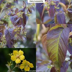 "Hairy Loosestrife Lysimachia ciliata ""Firecracker"" Type: Perennial Exposure: Sun / Part Shade Water: Regular  Despite its rather unfortunate common name hairy loosestrife is a strikingly beautiful plant. Burgundy to chocolate-colored foliage forms a mound to 4ft (1.2m) tall by half as wide. It's a vigorous grower but is not considered potentially invasive like some others in the lysimachia group (see Creeping Jenny May 21). The nodding mid summer star-shaped flowers are about an inch (2.5cm)…"