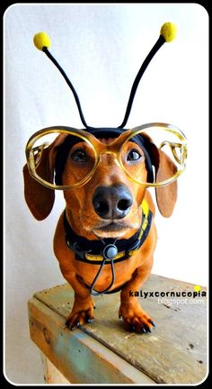 on 'bee'ing a dachshund! Dachshund Funny, Dachshund Love, Funny Dogs, Funny Animals, Cute Animals, Daschund, Animal Memes, Cute Puppies, Cute Dogs