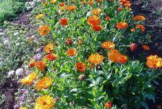 Népszerűbb, ismertebb ehető virágok:  Levendula Bodzavirág (könnyen összetéveszthető a gyalogbodzával, aminek minden része mérgező) Rózsa Kamilla Ibolya Kakukkfű virága Hársfa virág  Kevésbé ismert, de szintén ehető virágok:  Akác virágja (a kérge, magja mérgező) Orgona Sásliliom Árvácska Pitypang, gyermekláncfű Büdöske (bársonyvirág) Sarkantyúka, sarkanytyúvirág Szegfű Kankalin (gyökere mérgező) Tulipán (csak a szirmok) Zsálya Hibiszkusz Plants, Plant, Planets
