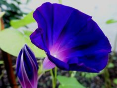 Photo of Tall Morning Glory (Ipomoea purpurea 'Star of Yelta') uploaded by vitrsna