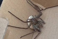 This is the giant venomous spider that a charity worker accidentally brought to the UK from Cameroon