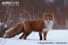 The size of a small dog, the red fox (Vulpes vulpes)is the largest member of the genus Vulpes and is well-known for its large bushy tail, which is often tipped with white. The fur is variable...