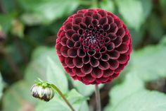 How to grow dahlias from rooted cuttings Growing Dahlias, Growing Plants, Climbing Flowering Vines, Aurora, How To Propagate Lavender, Christmas Wreaths, Christmas Crafts, Christmas Tree, Essential Oil Carrier Oils