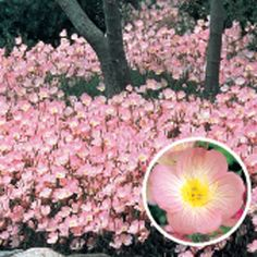 Pink Sundrops (3-9.99) from www.michiganbulb.com