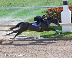 """thedaisyinyourgun:  """" diaryofaworkingstudent:  """"One of the two most impressive breezes of the day, this Bodemeister colt went in :10 flat despite jumping a shadow in the middle of the work.  """"  What  """""""