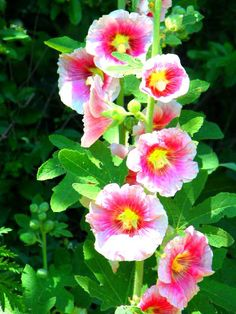 A List of Tall Perennial Flowers for the Back of the Flower Garden - See more at: www.doug-greens-p. Tall Perennial Flowers, Flowers Perennials, Planting Flowers, Fall Planting, Flower Gardening, Growing Hollyhocks, Hollyhocks Flowers, My Flower, Beautiful Flowers