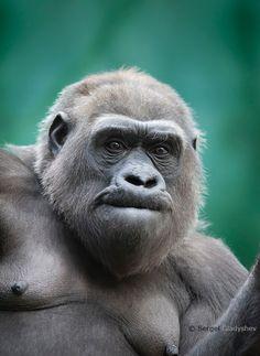 Surprise in eyes of a gorilla female by sergei gladyshev - Photo 64068319 - 500px