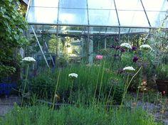 Alliumlökar i juni