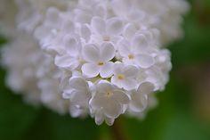 Organ, Spring, Bloom, Spring Bloom