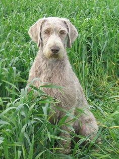Slovakian Rough-haired Pointer photos and wallpapers. The beautiful Slovakian Rough-haired Pointer pictures Rare Dogs, Rare Dog Breeds, Puppy Breeds, Weimaraner, Pet Dogs, Dogs And Puppies, Doggies, Greenland Dog, Pointer Dog