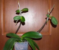Размножение орхидеи фаленопсис детками