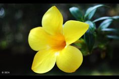 Allamanda Flower(Kolambi Poovu)@ My Home Back To Nature, Trees To Plant, Greenery, Seeds, Plants, Tattoo, Google Search, Flowers, Tree Planting