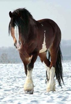 Clydesdale in snow :) beautiful horse. I like the cool markings on his belly.