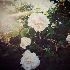 White roses from my garden! Summer Photography, Nature Photography, Garden Roses, White Roses, Twitter, Photos, Painting, Beautiful, Instagram