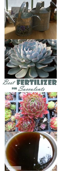 Best Fertilizer for Succulents - they're not like every other plant in their needs and wants... Gardening | Succulent Care