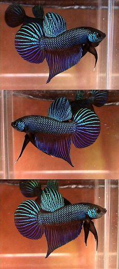 See more in the All Things Aquaria board: https://www.pinterest.com/JibinAbraham/all-things-aquaria/  Wild Betta Smaragdina