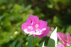 difference between bougainvillea and mandevilla
