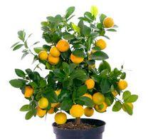 miniature fruit trees--- mini tree-- full sized fruit! A Lemon and an Apple tree... please <3
