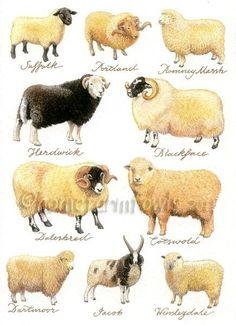 Breeds of Sheep Farm Animals, Animals And Pets, Cute Animals, Wild Animals, Sheep Art, Sheep Wool, Baa Baa Black Sheep, Sheep Breeds, Sheep And Lamb