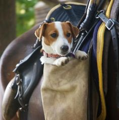 Jack Russell- small dogs still used to clear the trail for the horse!