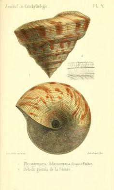 Observations sur le genre Pleurotomaire, et description d'une deuxième espèce vivante appartenant au même genre - BioStor