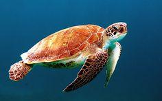 海洋里的乌龟