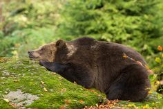 Taking a nap...... - Brown Bear in the Bavarian Forest.