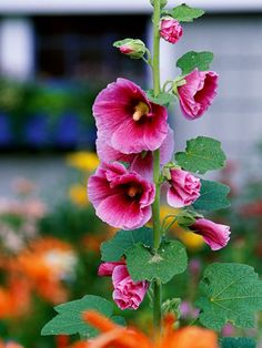 Hollyhock     Hollyhocks have been garden favorites for generations. And what's not to love about their towering spikes of hibiscus-shape flowers? The pink-flowering types are particularly fun in the garden as they seem to blend well with everything.    Name: Alcea rosea    Growing Conditions: Full sun and well-drained soil    Size: 3-8 feet tall and 1-3 feet wide    Zones: 3-