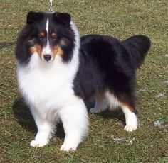 Bi-Blue Sheltie Puppies | This sheltie shown here is known to be bi-factored and white factored ... ~ GORGEOUS, GORGEOUS, GORGEOUS ~