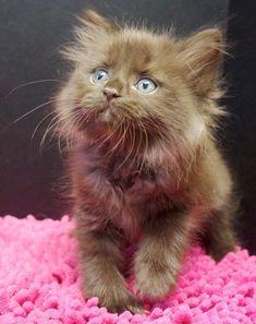 solid chocolate ragdoll kitten #ragdollcatchocolate
