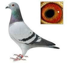 Image result for racing pigeons