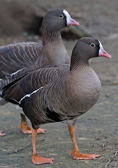 Lesser White Fronted Goose (Anser erythropus) breeds in Northern Asia