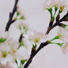 【___photo_aka】さんのInstagramをピンしています。 《部屋の中では一足早く 春の訪れ ...🌸\満開/ ・ 実家に帰ってきて 気が緩んだのか 風邪を引いてしまった 。 鼻水が止まらない 。 ・  #ママカメラ部#写真好きな人と繋がりたい#love#写真部#ファインダー越しの私の世界#ミラーレスカメラ#photooftheday#EOS_M10#Canon#カメラ女子#カメラ初心者#キャノン#写真撮ってる人と繋がりたい#LIFE_with_camera#EOSM10#japan_daytime_view#my_eosm10#帰省中#japanese #loves_nippon #reco_ig #生活#桜#sakura#icu_japan#japanstyle》