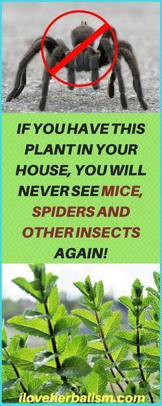 Natural Insect Repellent You Should Have In Your House. - This article is going to present you a fantastic natural repellent of insects. It is 100% free of the toxins that insecticides in TV/radio commercials usually contain and almost always end up affecting our health. This repellent will also make your home smell refreshing.