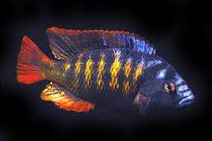 lake victoria cichlids - Google Search