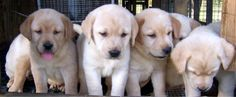 Yellow labs - so cute