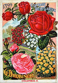 Catalog Information    Company Name:  G. Drobisch    Catalog Title:  Cottage Rose Garden (1899)  Publication Information:  Columbus, OH  United States  Category(ies) of Cover Art:  Roses