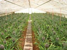 Pineapple plantation in São Miguel Island / Plantação de ananás na ilha de São…