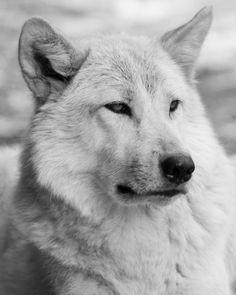 Artic Wolf - Beautiful