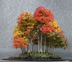 <em>Acer buergerianum</em> | Trident Maple<br> Donor: Brussel Martin | In Training Since 1985