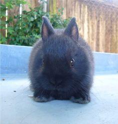 Netherland Dwarf bunny 1