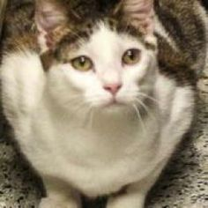 David is an adoptable Domestic Short Hair - Gray And White Cat in Prescott, AZ. David's Contact Info *** Questionnaire *** If you would like to meet David, please download the questionnaire, fill it o...