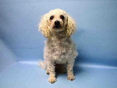 SAFE - 07/22/15 - SNUGGIE - #A1044175 - Urgent Brooklyn - MALE WHITE POODLE MIN MIX, 5 Yrs - STRAY NO HOLD Intake Date 07/15/15