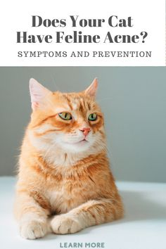 Yes, feline acne is real. Learn more about symptoms and prevention of this skin disorder