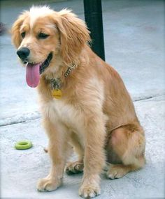 golden retriever spaniel mix, my new second favorite dog breed. Name: Duke or Sammi