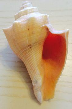 Shells, Fish, Seashells, Conchas De Mar, Sea Shells