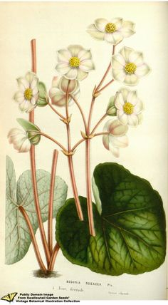 1845 Flore Des Serres Lithograph Street Price Van Houtte Begonia